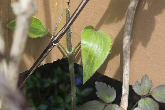 Learn the art of pruning clematis vines from our expert | GardenersPath.com