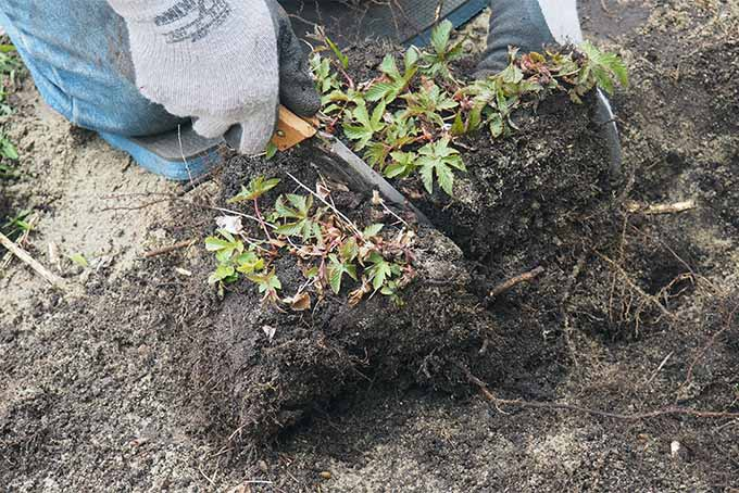 Separate perennials by prying apart or cutting each clump into quarters or thirds | Gardener's Path