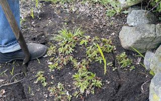 Carefully dig up perennial plants to divide them | Gardener's Path