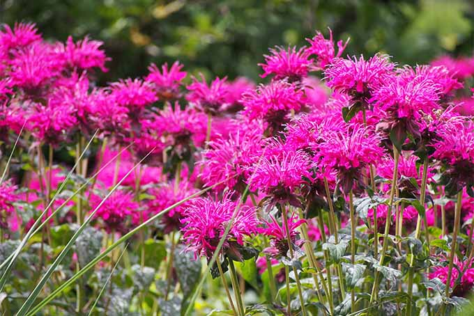 It's a good idea to divide bee balm from time to time | Gardener's Path
