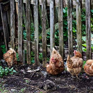 Learn about whether you should fence your chickens in or let them roam in your garden | Gardener's Path