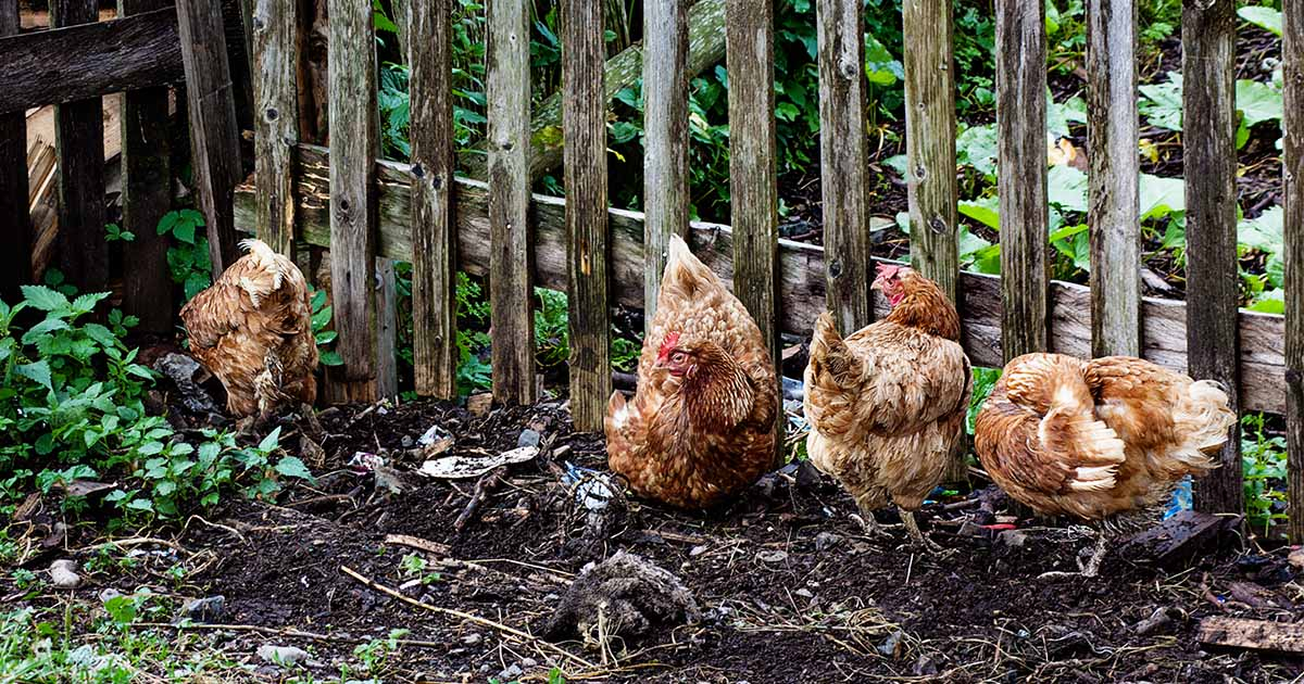 647c6a45 Chickens in the Garden: What You Need to Know | Gardener's Path