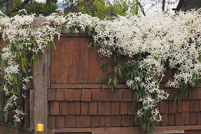 Create an unforgettable show with proper care of clematis | GardenersPath.com