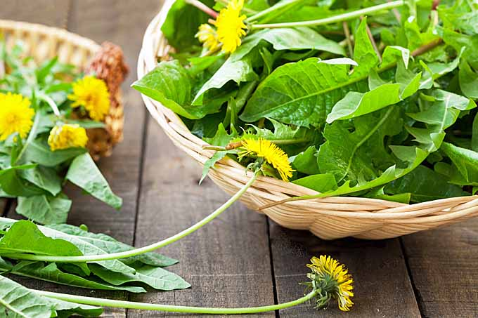 Dandelion flowers, leaves, and even the roots can be used for food and to create herbal remedies. | Gardener's Path