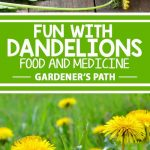 Although most folks dismiss it as a weed, dandelions are some of the tastiest and nutritious herbs growing wild. Super simple to collect and use, this common legume has many medicinal uses and has been used historically to cure and treat all sorts of ailments. Find out more now: https://gardenerspath.com/plants/herbs/fun-with-dandelions/