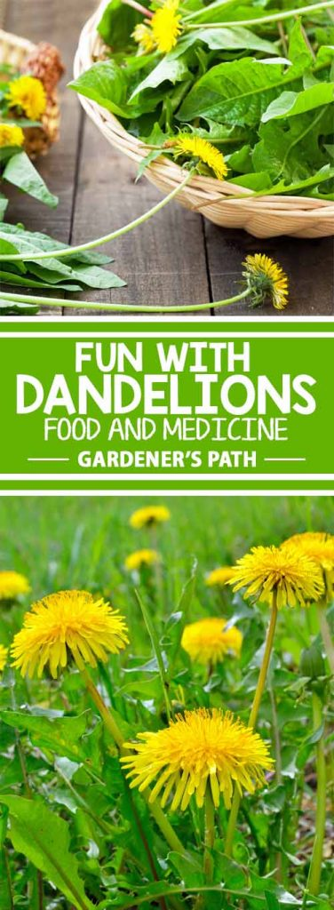 Although most folks dismiss it as a weed, dandelions are some of the tastiest and