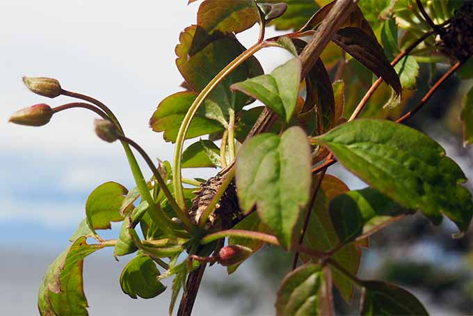 Understand how to get more clematis buds from our expert | GardenersPath.com