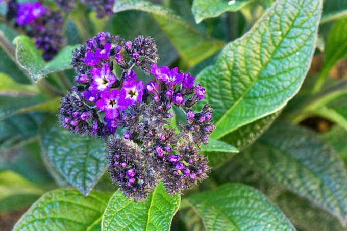 Grow Heliotrope Flowers at Home | Gardener's Path.com