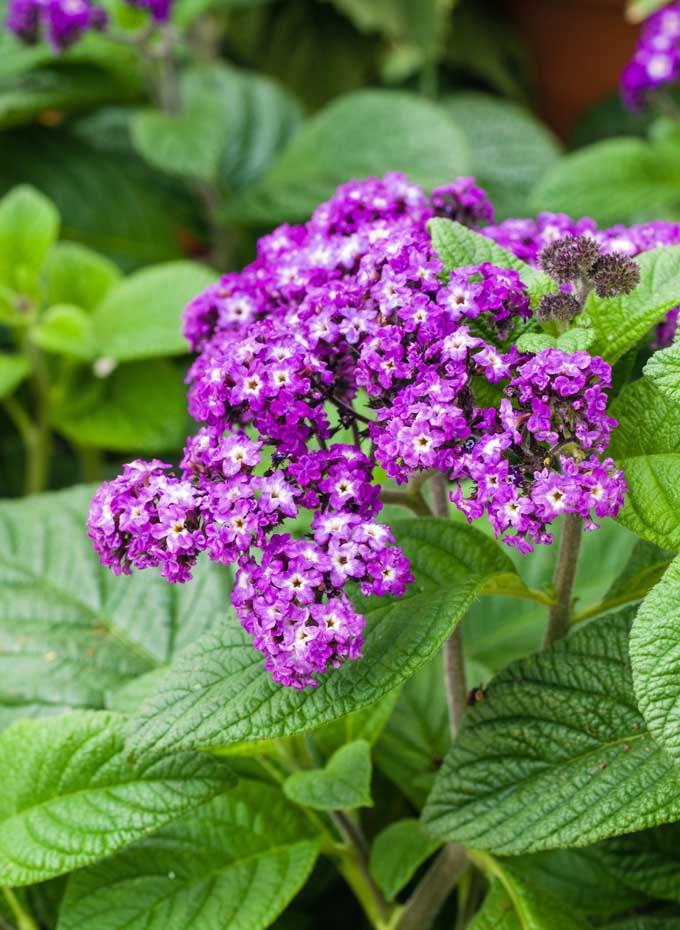 Purple blooms of heliotropes in a summer garden.