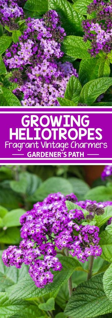 Would you like to grow a plant whose scent was a source of perfume for Victorian ladies? Whose purple clusters have graced gardens from Peru to Europe? The heliotrope is a showy garden flower that may also be cultivated indoors as a miniature potted tree. Learn all about it here on Gardener's Path.