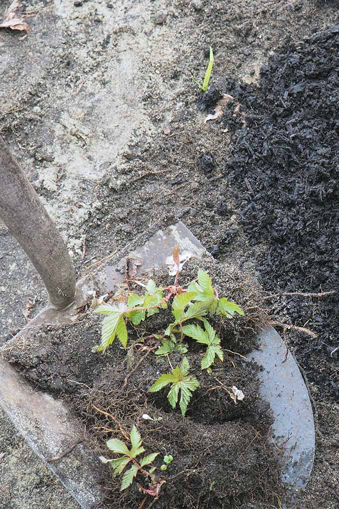 How To Divide Perennials Gardener S Path