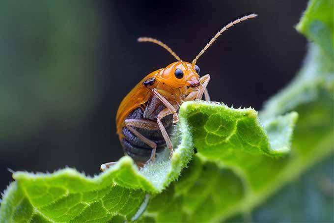 How to Get Rid of Squash Beetles | GardenersPath.com