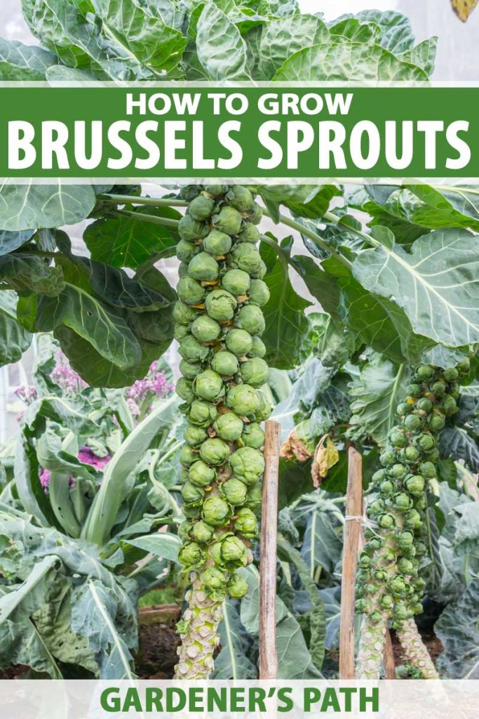 A woody stalk with Brussels sprouts attached in a backyard garden.