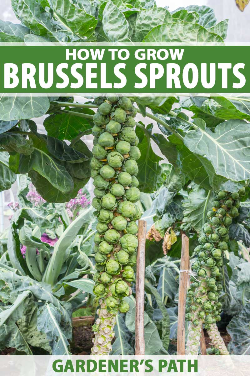 How to Grow Brussels Sprouts | Gardener's Path