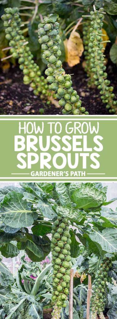 Despite a reputation for being tricky, you can certainly grow Brussels sprouts in your home garden, as long as you follow a few guidelines. Learn how now at Gardener's Path.