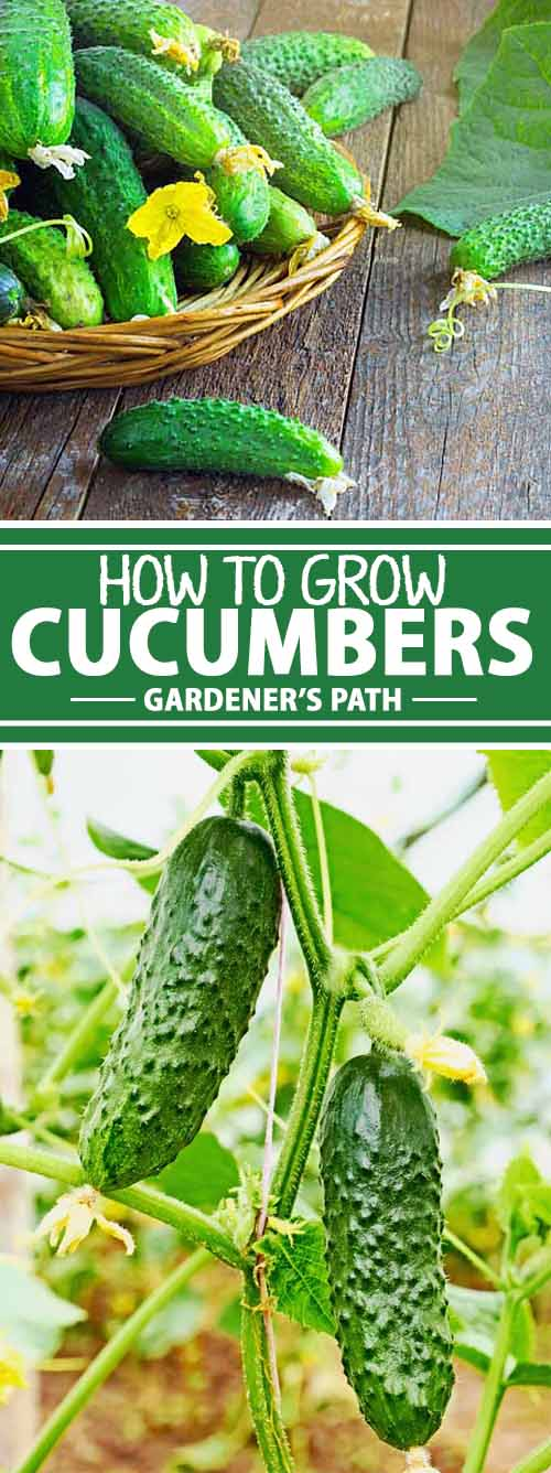 Journeying from India to Spain and to Haiti before making their way to the US., cucumbers have long been depended on to add a satisfying crunch to summer meals. Learn how to grow this summer crop at Gardener's Path now.
