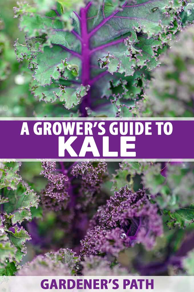 Close up of purple and green kale growing in a veggie garden.