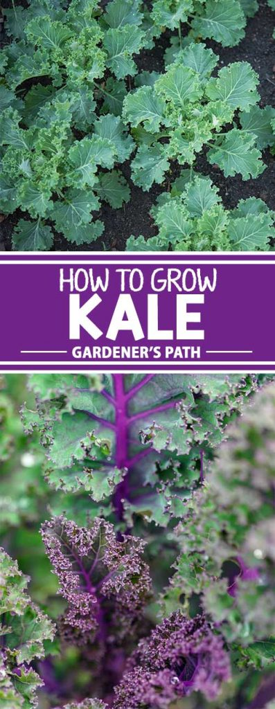A collage of photos showing different kinds of kale growing in the garden.