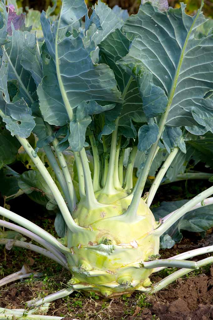 A large, bulbous kohlrabi plant grows from the earth. Many grey-green leaves emerge from the base of the plant.
