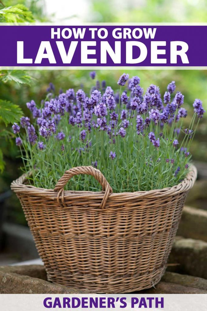 A vertical image of basket of lavenders in a garden setting.