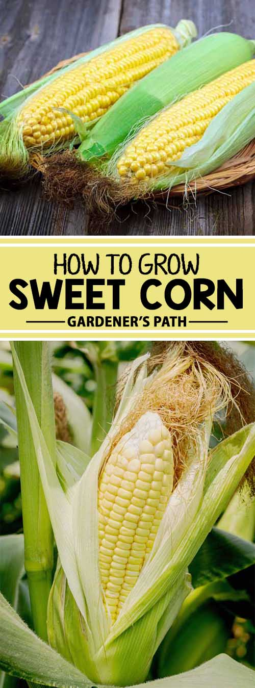 Corn is a great addition to any garden, with hundreds of hybrids for farmers to pick from. We love corn so much here at Gardener's Path that we've put together step-by-step instructions for growing delicious sweet corn in any backyard. Read more now.