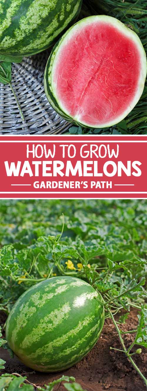 Watermelons are a delightfully traditional way to celebrate the end of summer. While thought of as an intimidating fruit to grow, they are worth the effort with their sensational sweet bounty. Learn how to introduce these beauties to your garden with growing and harvesting tips that anyone can master. Start here to learn more now on Gardener's Path!