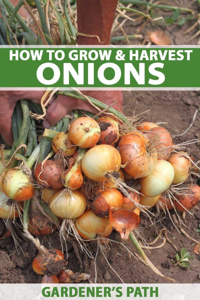 A human hand holds a bunch of freshly harvested onions grown in a home vegetable patch.