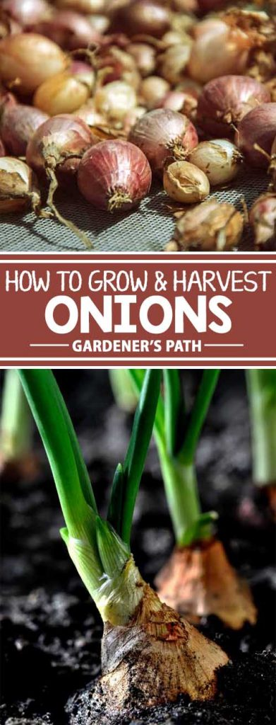 A collage of photos showing different views of onions growing in the garden.