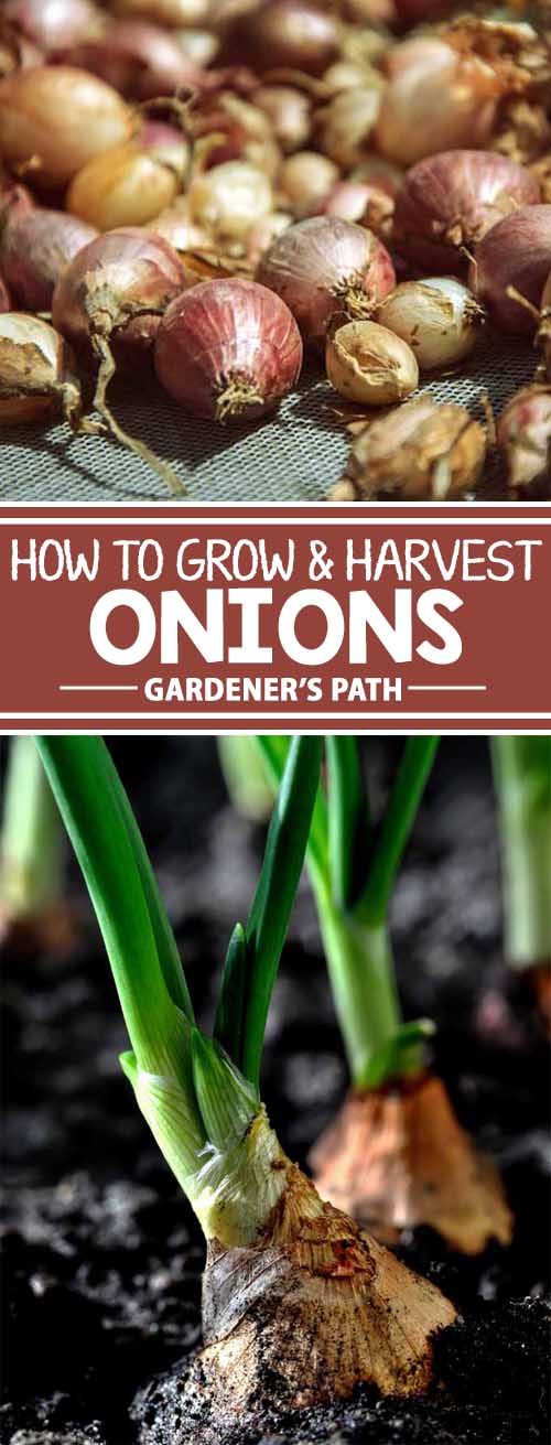 If you love the savory taste of onions in your cooking and want to be able to grow some at home, follow this step by step guide to proper seeding, cultivation, and maintenance to produce a harvest that's plump, juicy, and full of flavor. Enjoy these helpful tips from the knowledgeable gardeners at Gardener's Path. Read more now.