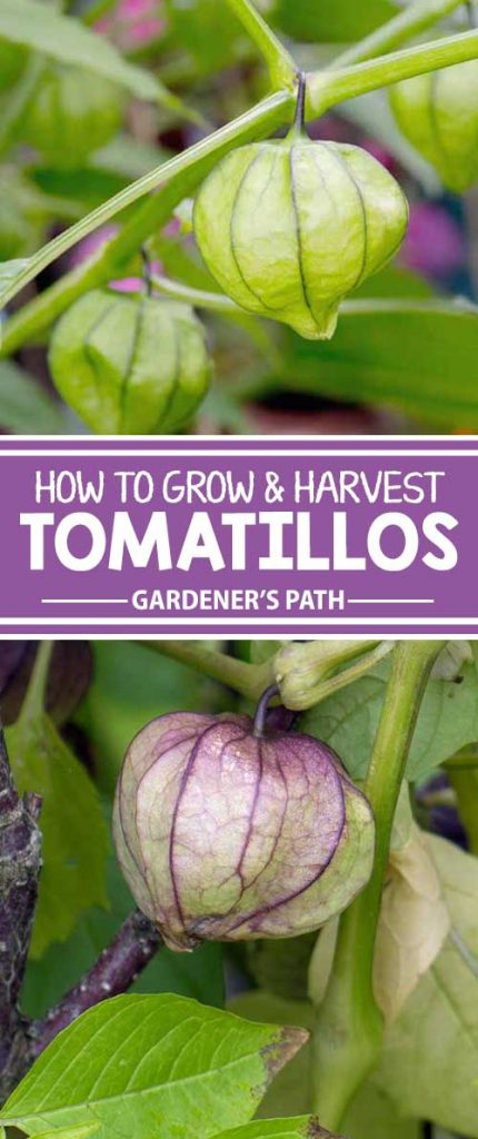 If you've grown tomatoes, you can grow tomatillos. The zippy green fruit — bearing an unusual, papery husk — is commonly used in Mexican cooking and has growing requirements similar to that of the tomato. Learn all about growing them now on Gardener's Path.