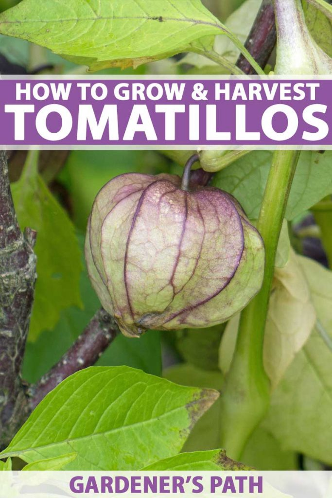 A green and purple tomatillo growing in the garden.