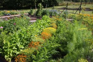 Colorful vegetable garden with marigolds for companion planting.