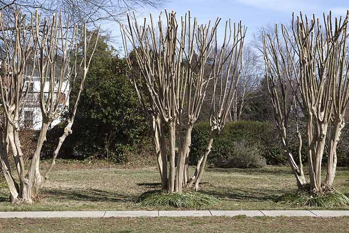 Poorly Pruned Crape Myrtle Trees | GardenersPath.com