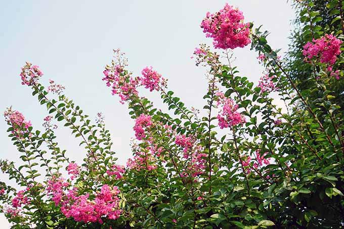 Pink Crape Myrtle Trees | GardenersPath.com