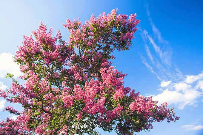 Pruning Crape Myrtle Trees | GardenersPath.com