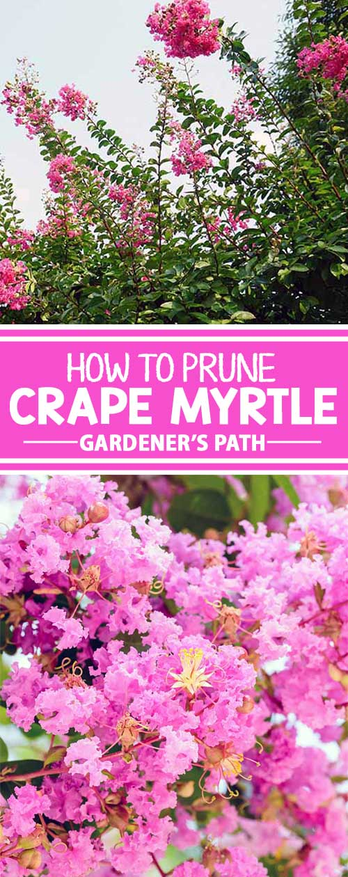 The crape myrtle is celebrated for its abundant groupings of colorful and delicate flowers in hues from white to deep red. If you know anything about these trees, you know that pruning them is a subject of great debate. To learn the proper way to trim crape myrtle trees, read more now on Gardener's Path.