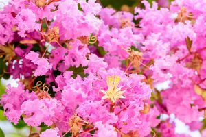 Leave the Butchery Behind: How to Properly Prune Crape Myrtle Trees