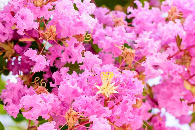Pink crape myrtle blooms on properly pruned tree | GardenersPath.com