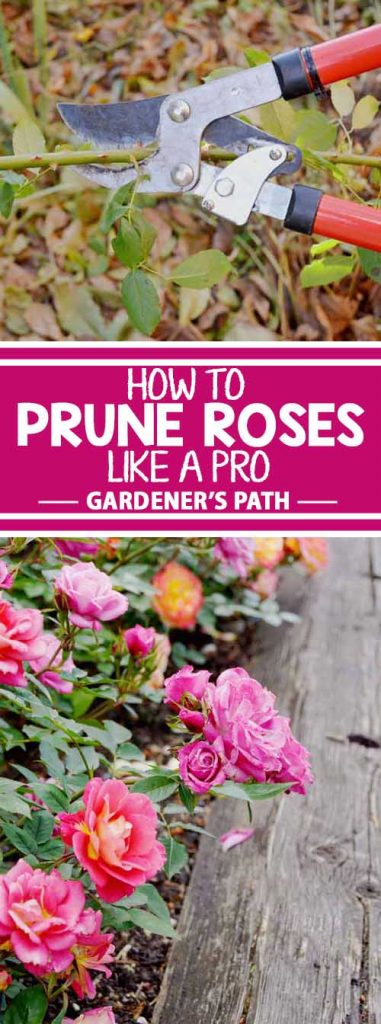 Roses add an inviting touch of romance to a landscape. Be sure to keep yours in top form by pruning the right way at the right time. Did you know that you can adjust the quantity and size of blossoms by varying your cutting technique? Learn this and more with 5 pruning tips here on Gardener's Path.