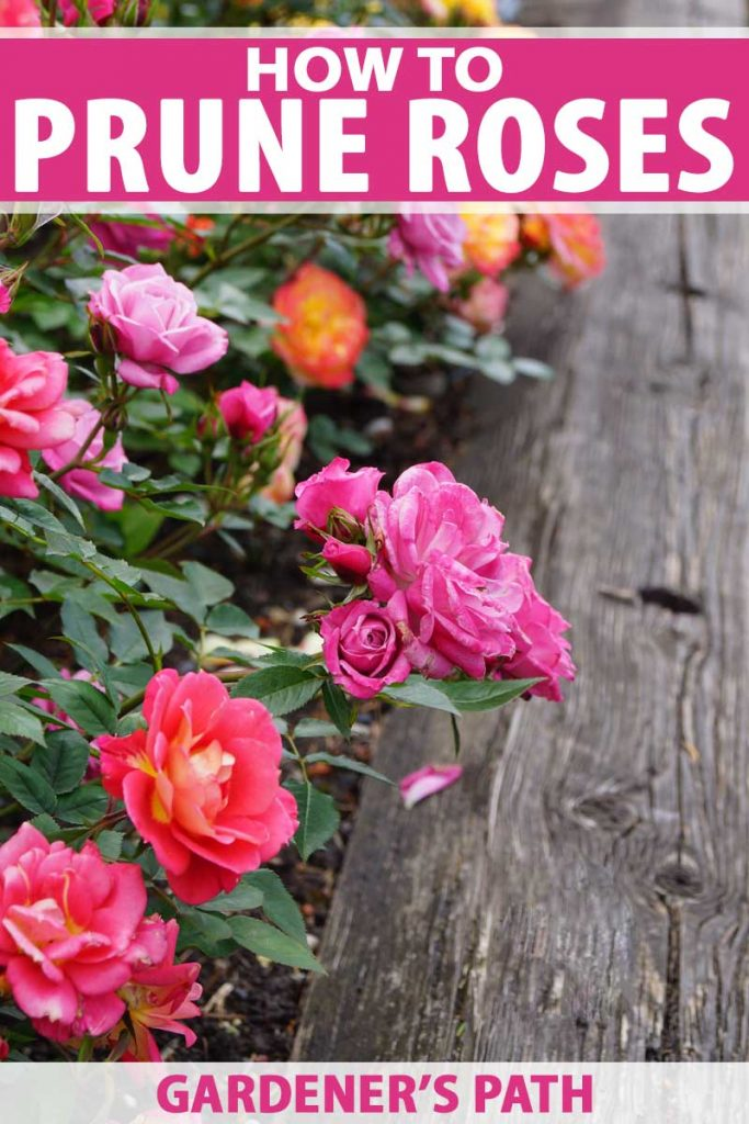 Different colors of old-fashioned roses growing along a fence.