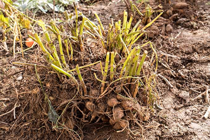 Learn when and how to divide perennial tuber plants | Gardener's Path