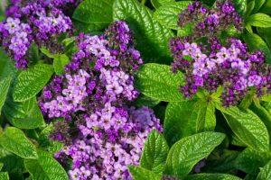 Growing Heliotropes: Fragrant Vintage Charmers