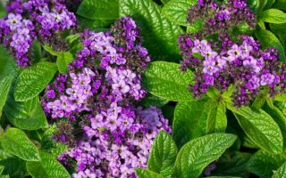 Growing Heliotropes: Fragrant Vintage Charmers