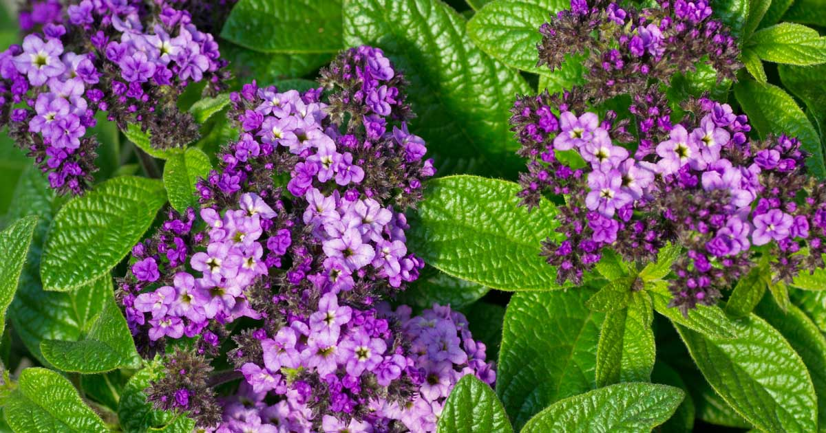 How To Grow Heliotropes Beauty And Fragrance For Your
