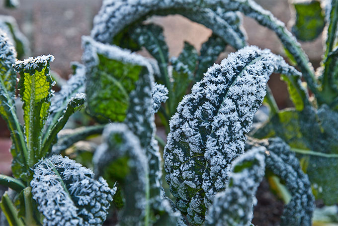 How to grow kale in the home garden | Gardener's Path