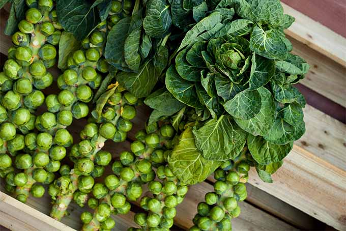 Grow, harvest and eat Brussels sprouts from your back yard | Gardener's Path