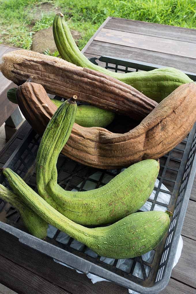 Grow, dry, and prepare your own loofah sponges with expert advice from Gardener's Path: https://gardenerspath.com/plants/vegetables/grow-loofah/