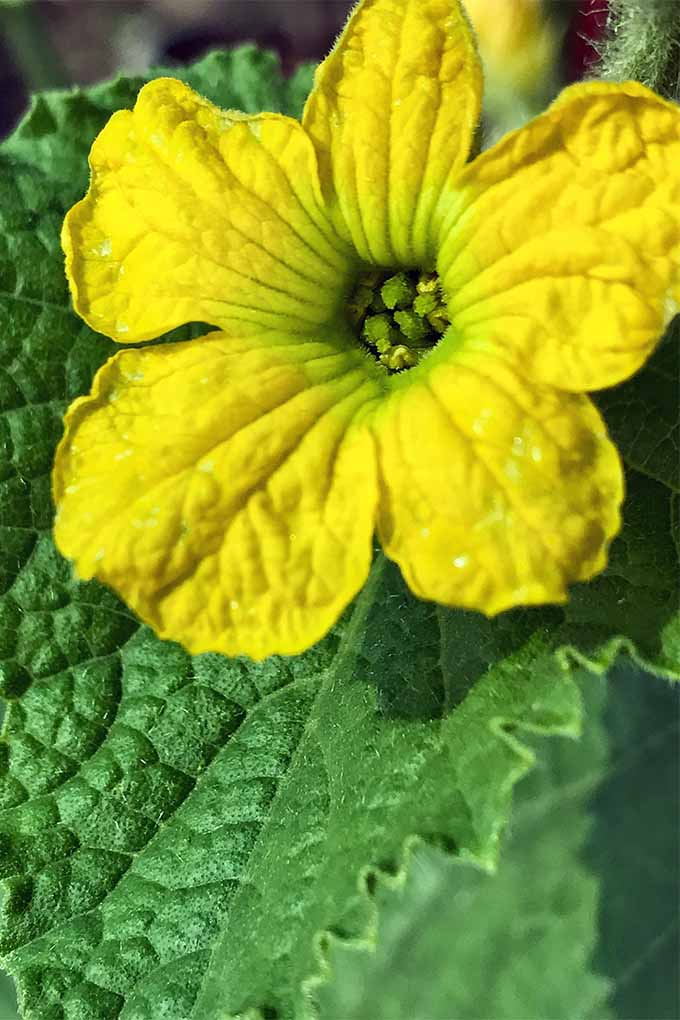 Bright yellow flowers characterize loofah squash plants, which you can learn grow at home now at Gardener's Path: https://gardenerspath.com/plants/vegetables/grow-loofah/
