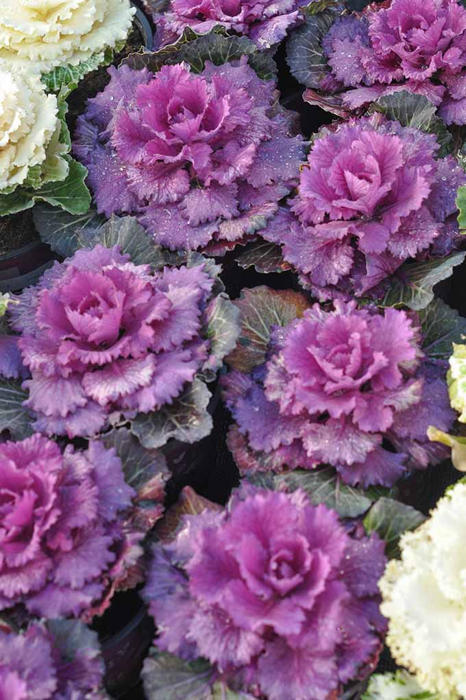 Rows of purple ornamental kale growing in a garden setting.