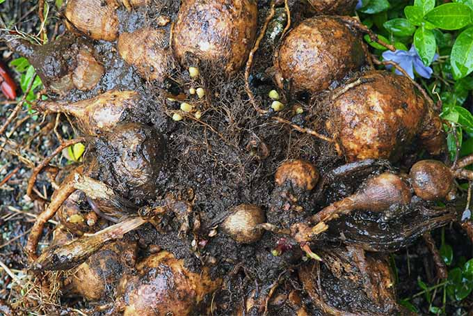 Overgrown dahlia tubers should be divided | Gardener's Path